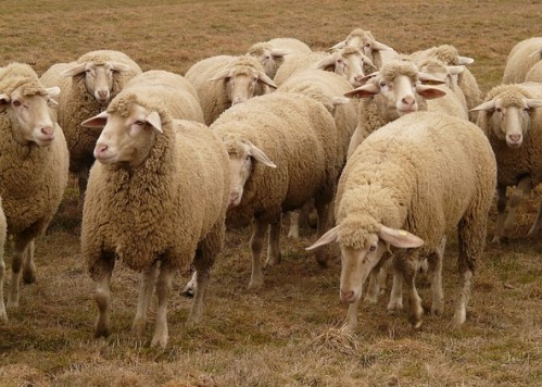 flock-of-sheep-49666_640
