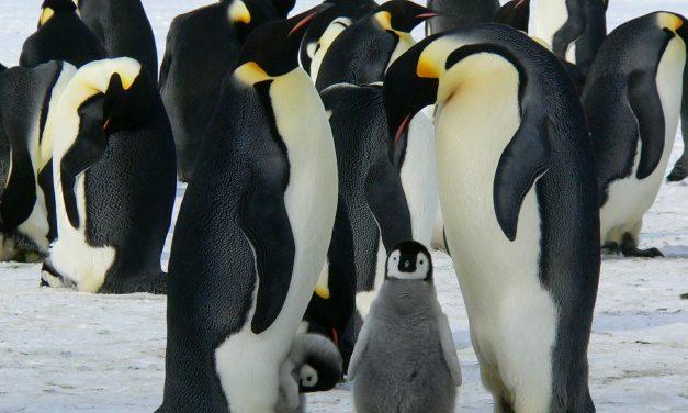 In Antartide, la pesca industriale intensiva minaccia i pinguini