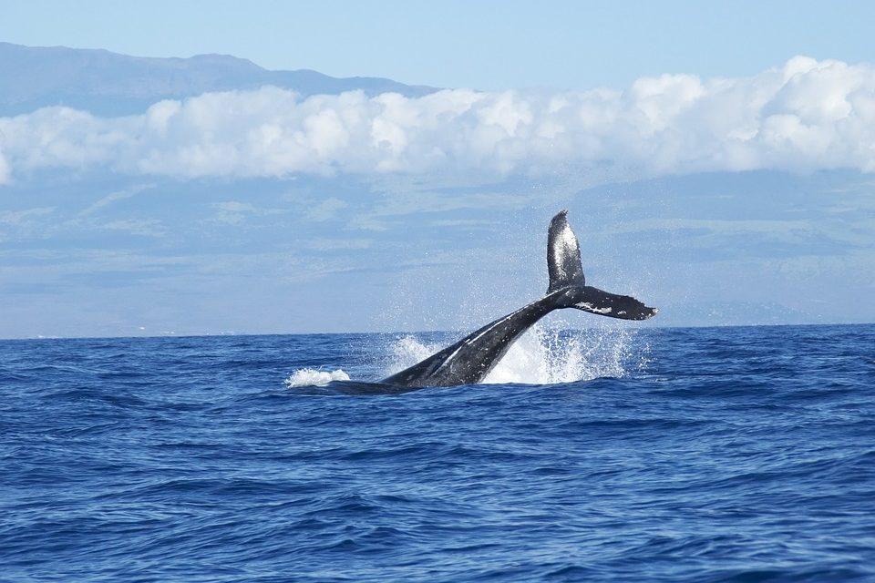 Giappone: riparte la caccia alle balene per scopi commerciali