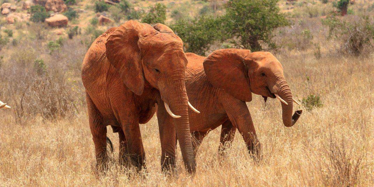Siccità in Africa Australe: 300 elefanti morti per fame e sete