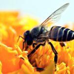Pesticidi e cambiamenti climatici: sempre più api rischiano di scomparire